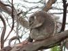 野生のコアラにも遭遇しましたよ!