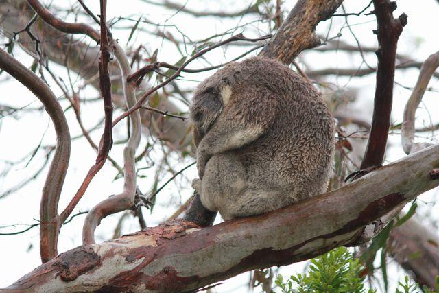 野生のコアラ(寝てたけど)